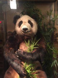 パンダはく製12