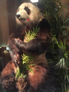 パンダはく製10